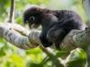 Dusky_leaf_monkey,_Trachypithecus_obscurus