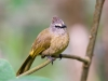 Flavescent_bulbul,_pycnonotus_flavescens