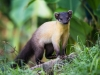 Martes_flavigula,_yellow-throated_marten